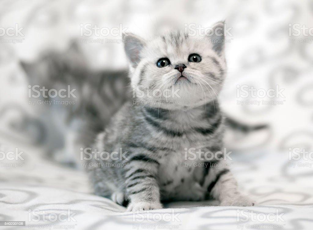 Scottish straight kittens stock photo