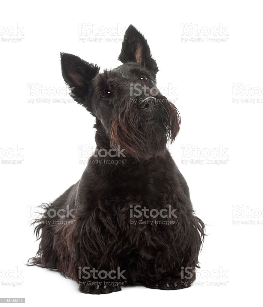 Scottish Terrier, 20 months old, standing against white background stock photo
