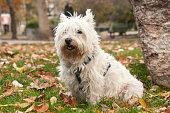 Scottish terrier closeup