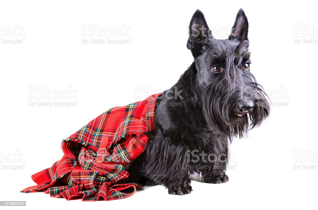 Scottish terrier in a kilt royalty-free stock photo