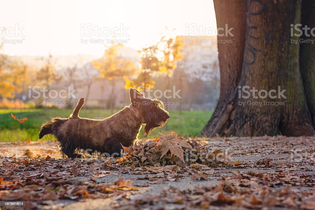 scottish terrier in  a park kick leafs stock photo