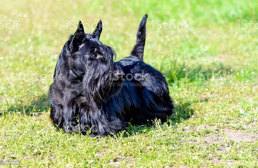 Scottish Terrier looks. stock photo