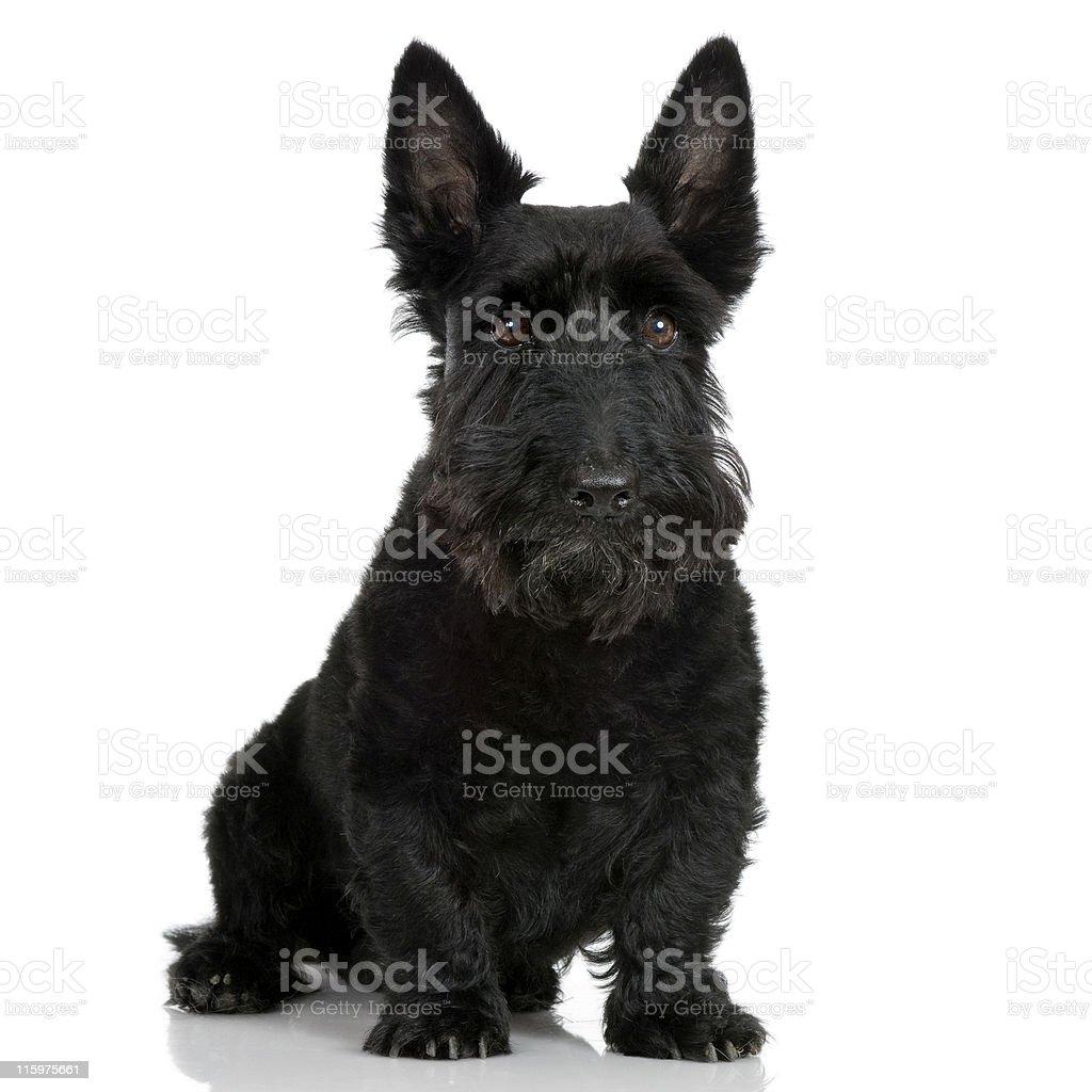 Scottish Terrier (9 years) royalty-free stock photo
