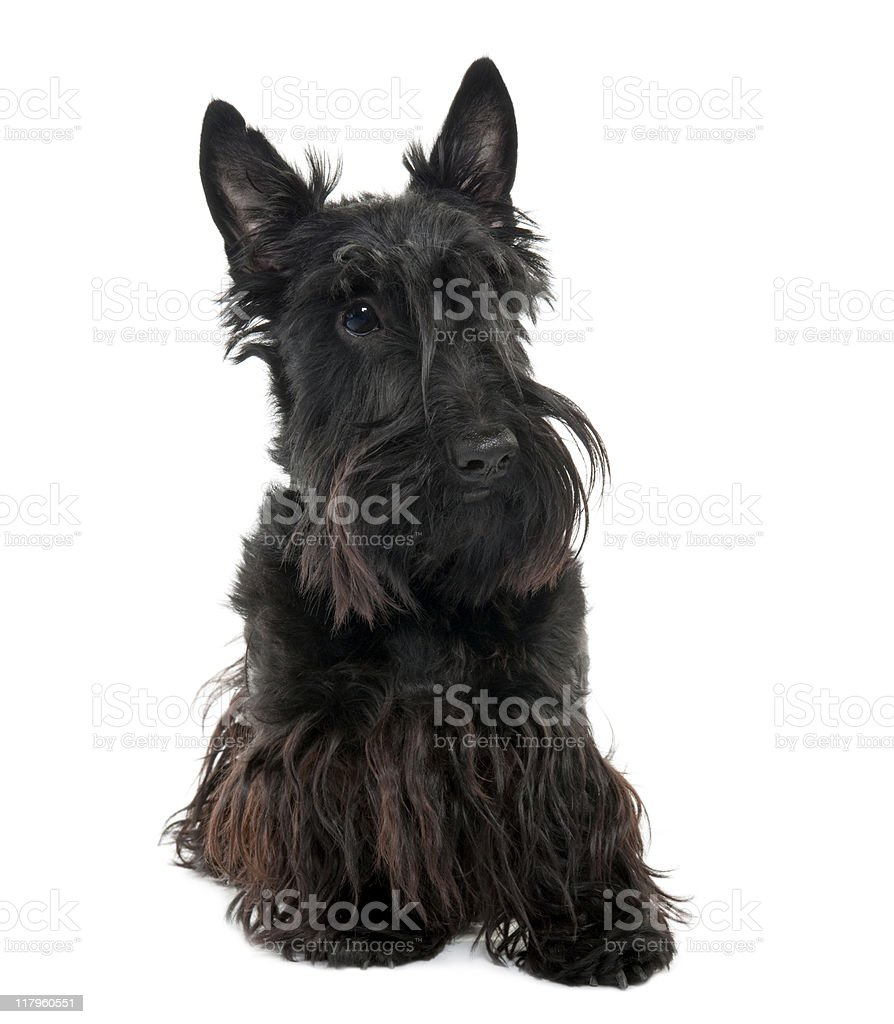 Scottish Terrier (16 months old) royalty-free stock photo