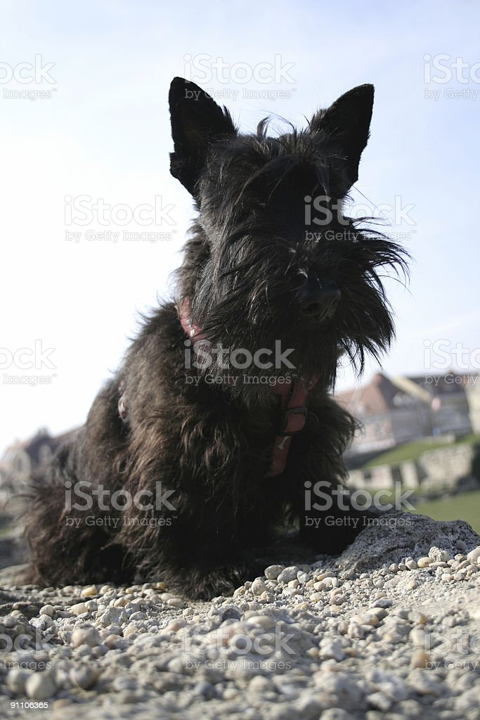 Scottish terrier royalty-free stock photo