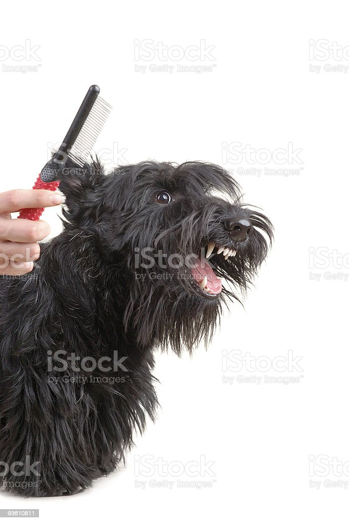 Scottish terrier stock photo