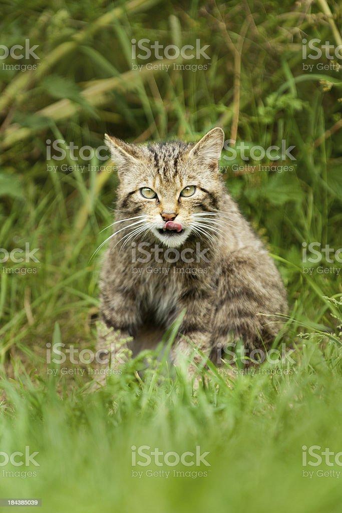 Scottish Wildcat licking his lips royalty-free stock photo
