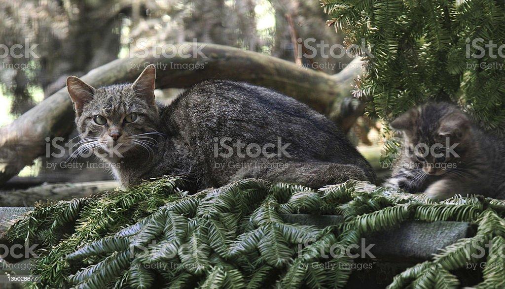 Scottish Wildcat mother and kitten royalty-free stock photo