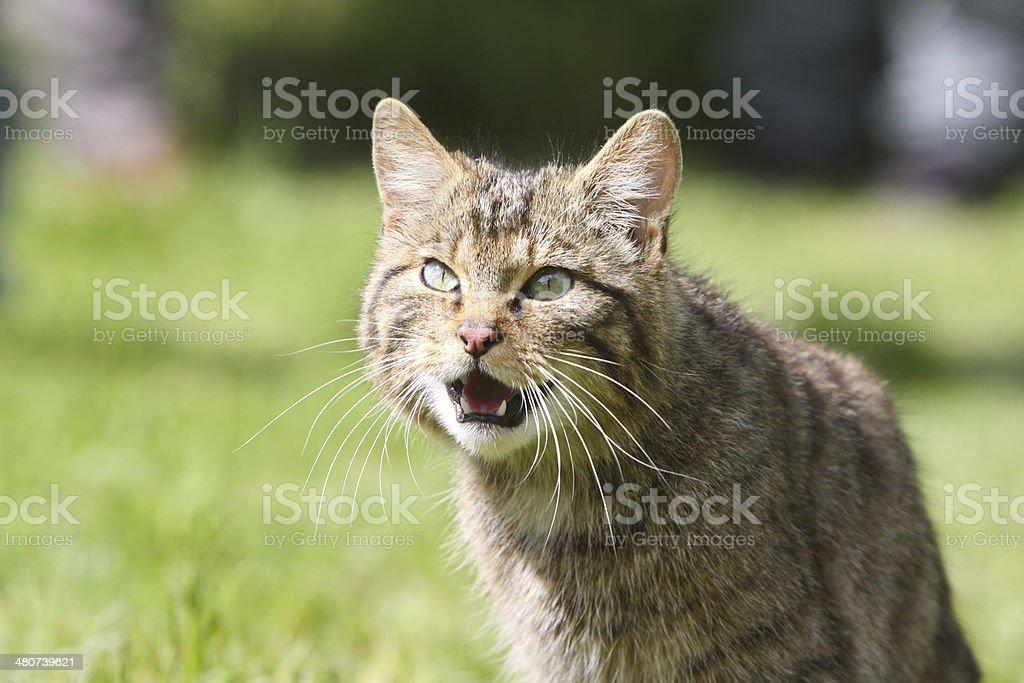 Scottish Wildcat royalty-free stock photo