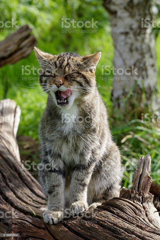 Scottish Wildcat stock photo