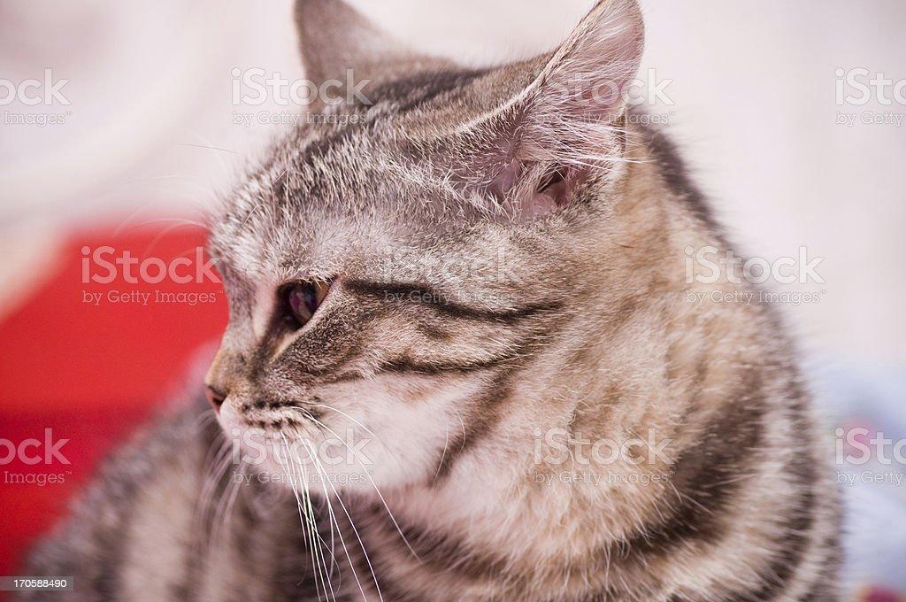 Scottish-straight gray beautiful cat stock photo