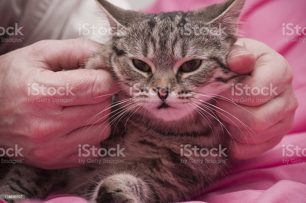 Scottish-straight gray beautiful cat royalty-free stock photo