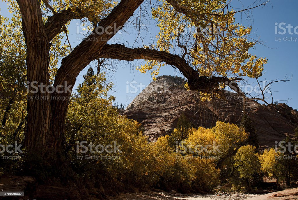 Scraggly Cottonwood Tree in Zion National Park Utah stock photo