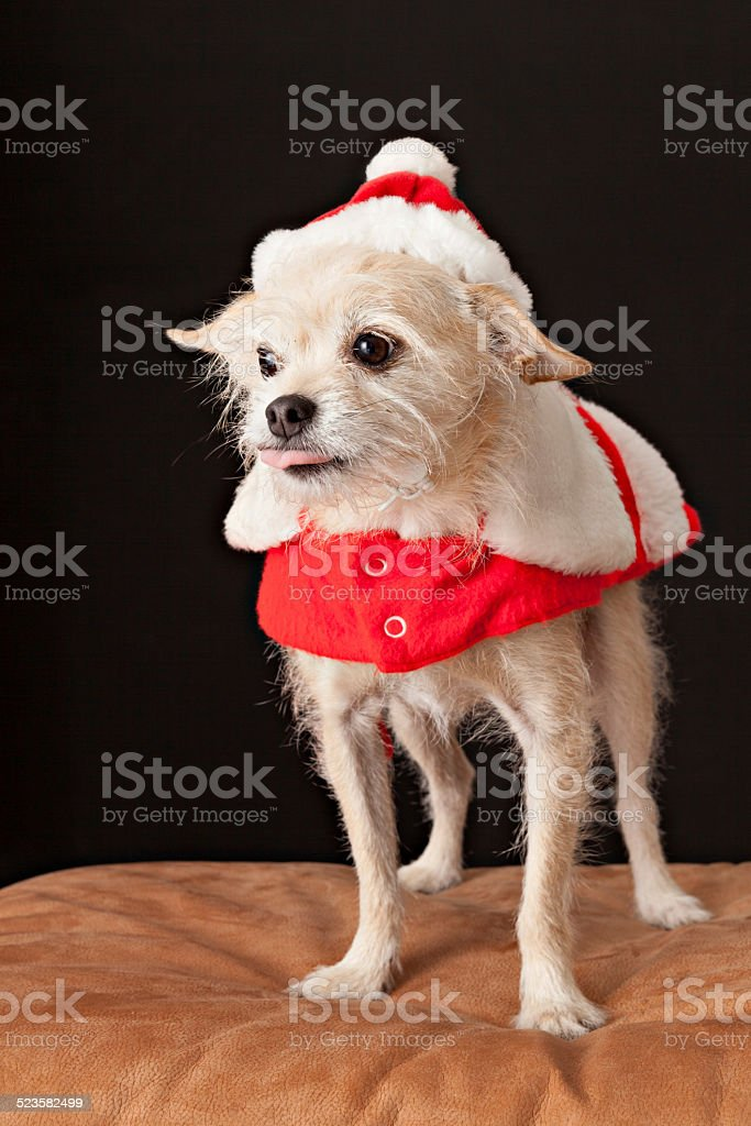 Scraggly Dog Dresses For Christmas stock photo