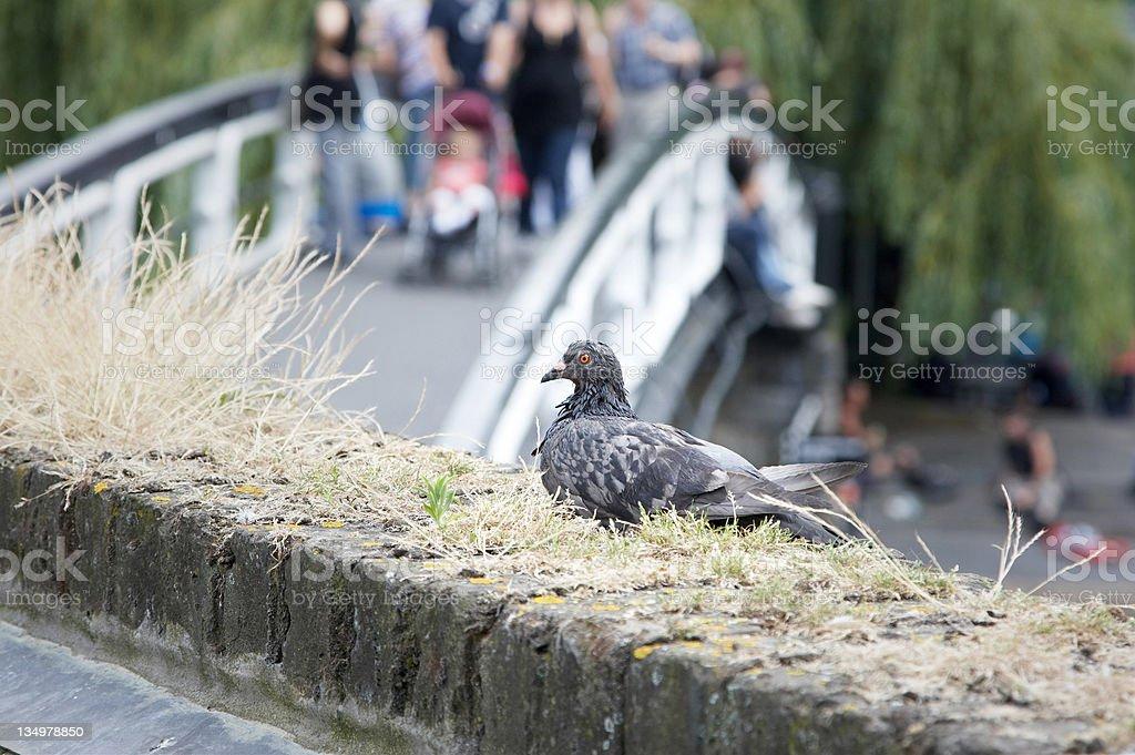 Scraggly London pigeon stock photo