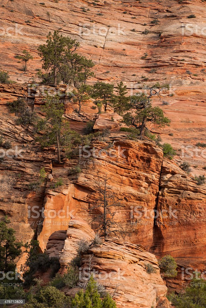 Scraggly Pines on Sandstone Cliffs in Zion National Park Utah stock photo