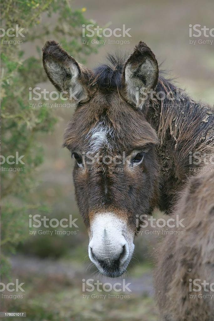 Scraggy Donkey royalty-free stock photo