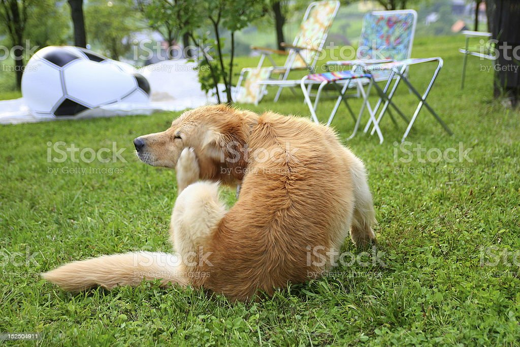 Scratching dog stock photo