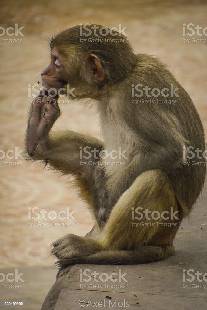 Scratching Monkey stock photo