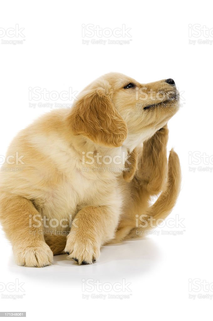 Scratching puppy stock photo