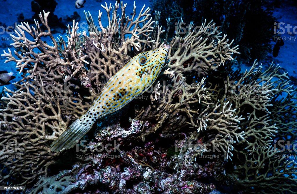 Scrawled Filefish - Thailand.jpg royalty-free stock photo