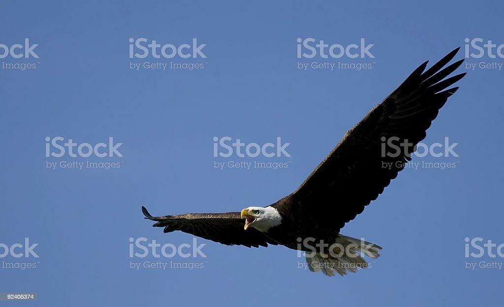 Screaming American Bald Eagle stock photo