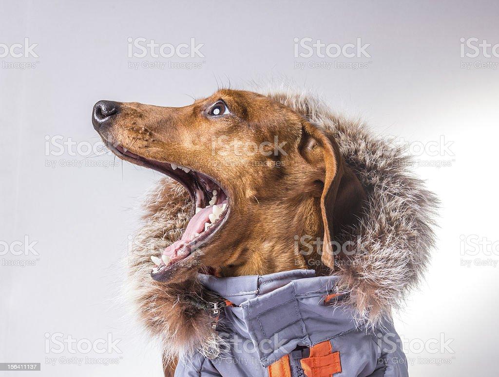 screaming dog dachshund stock photo