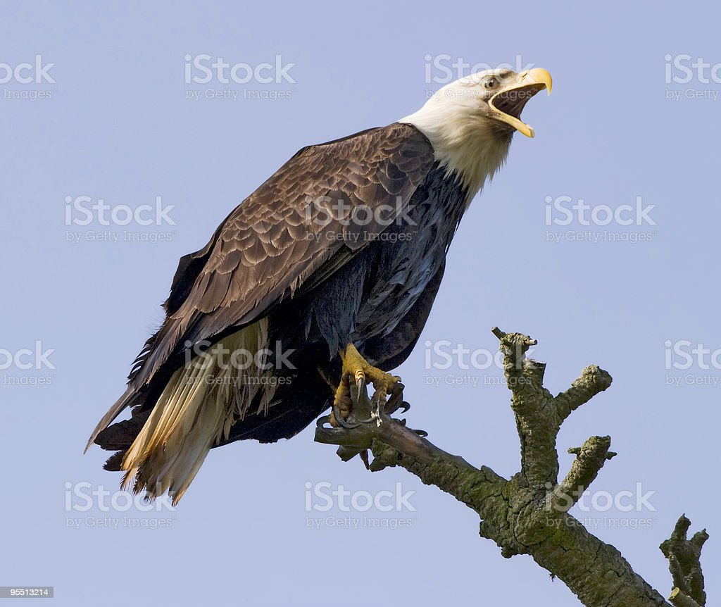 Screaming Eagle In The Wild royalty-free stock photo