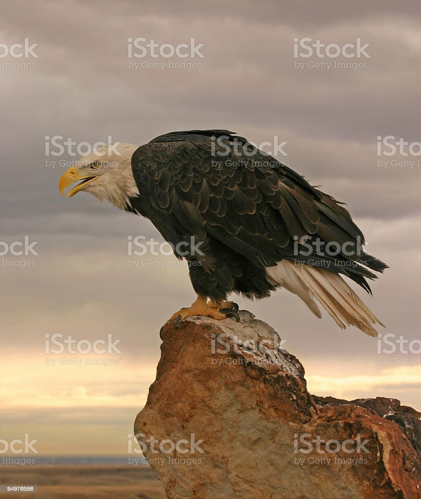 Screaming Eagle royalty-free stock photo
