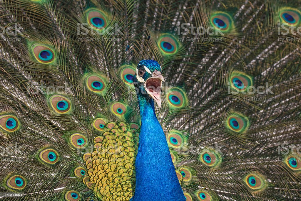 Screaming peacock against his plumage background stock photo