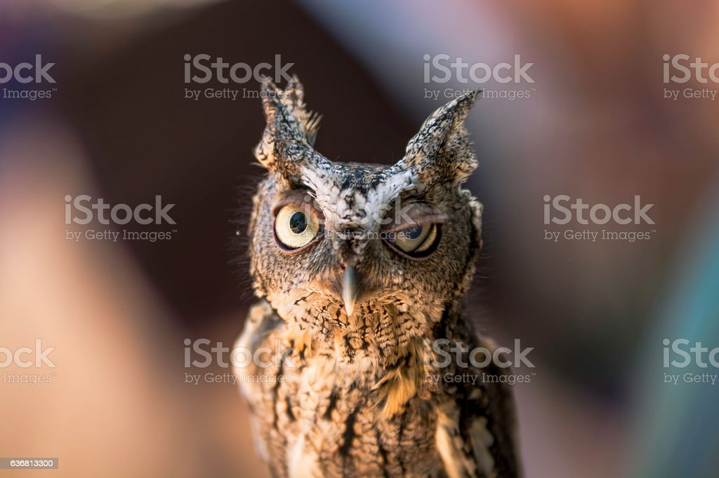 Screech Owl 5 stock photo