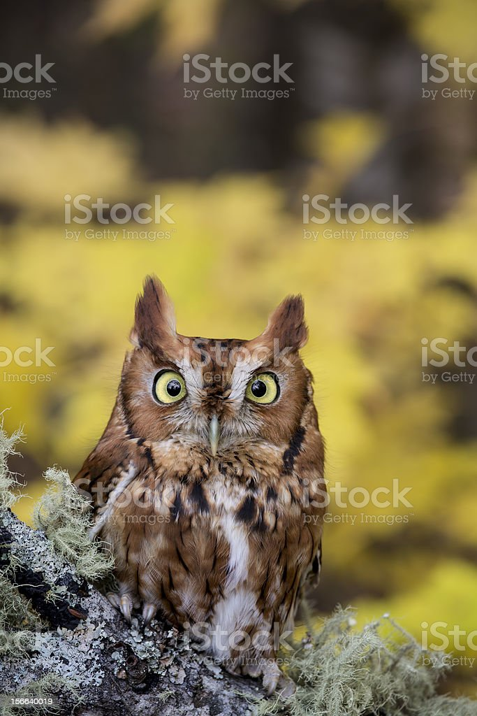 Screech Owl in Autumn Forest (Megascops Asio) royalty-free stock photo
