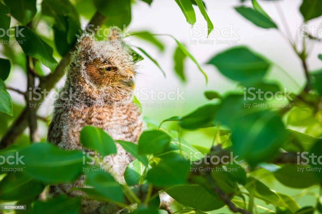 Screech Owl Looking Away stock photo