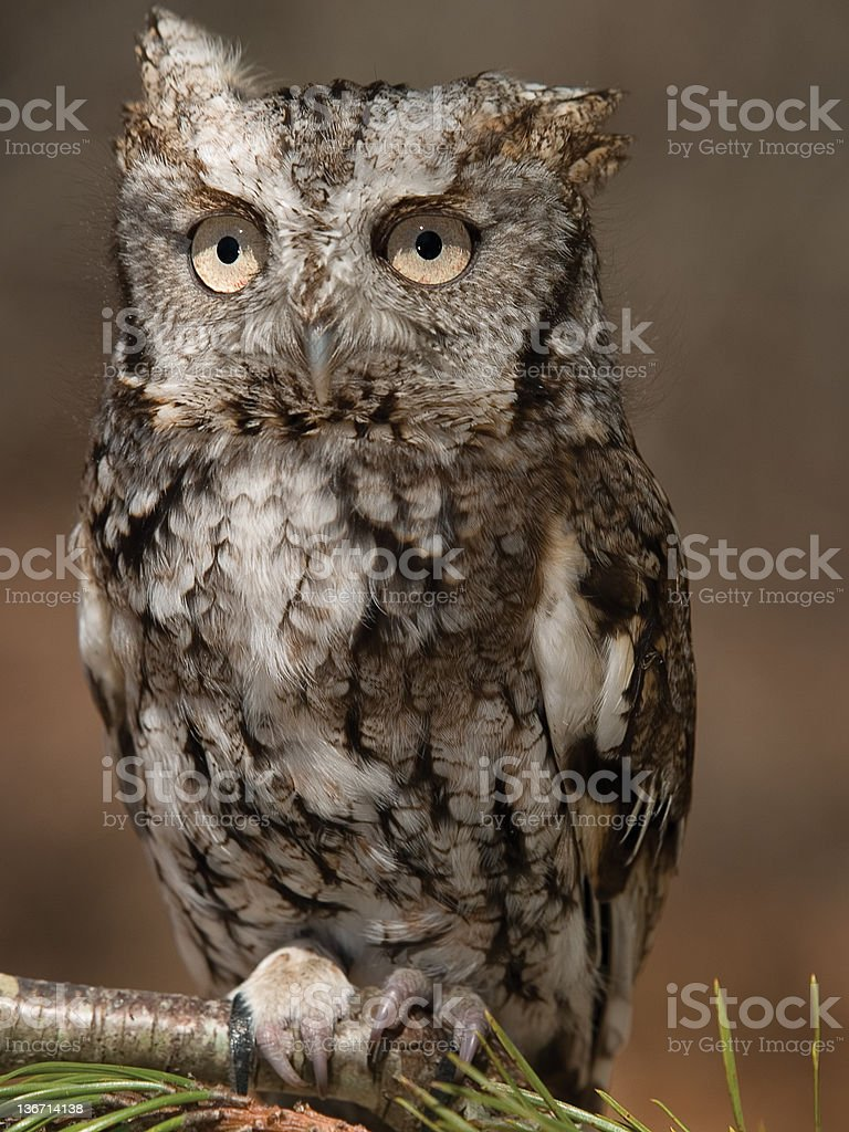 Screech Owl royalty-free stock photo