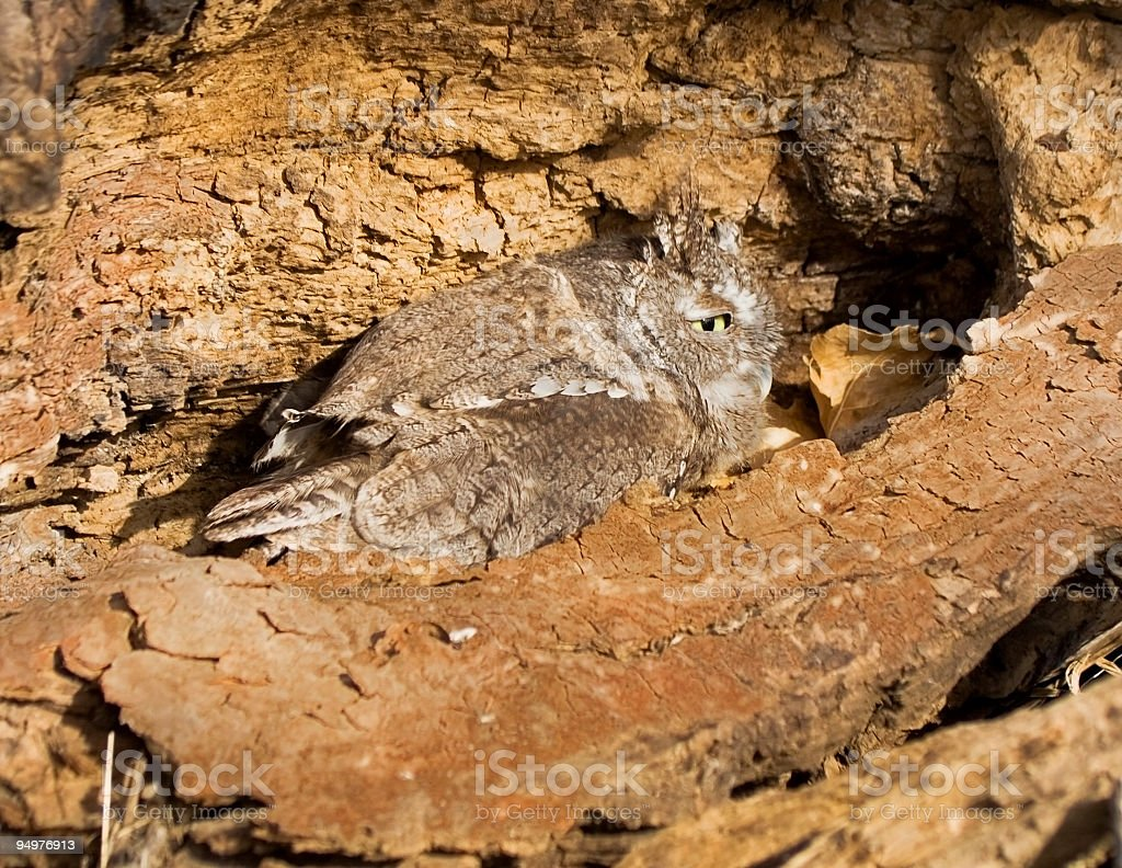 Screech Owl Tries to Hide royalty-free stock photo