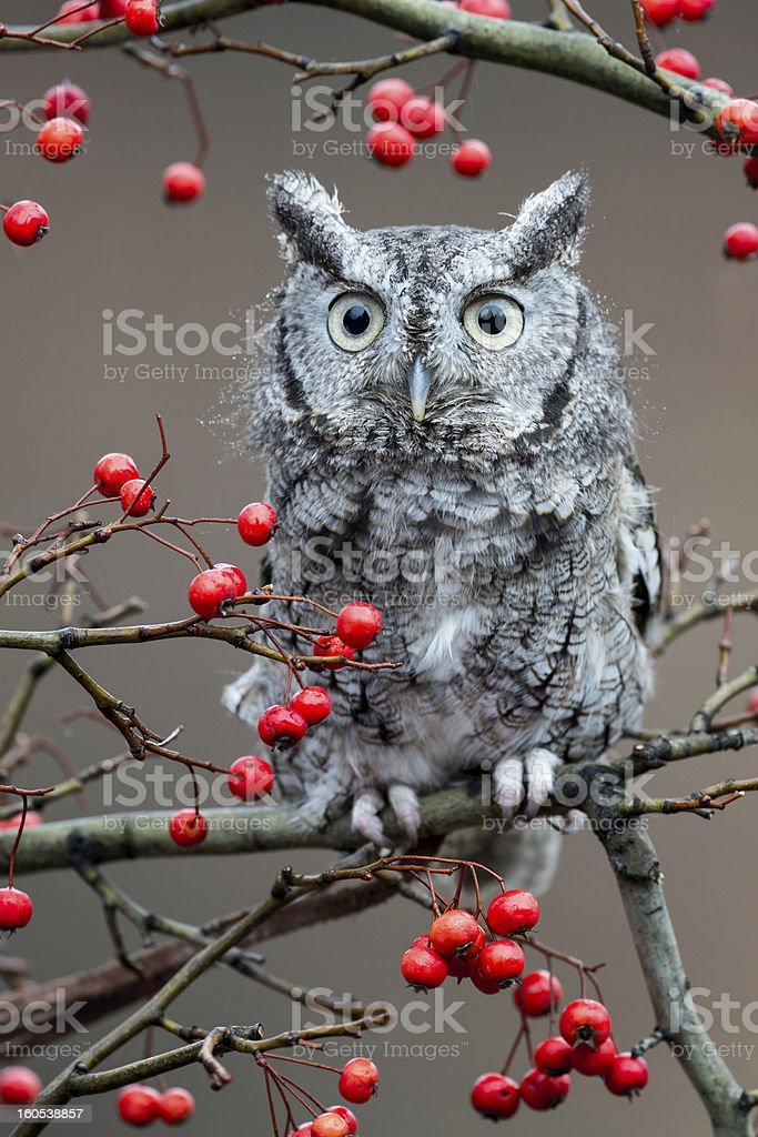 Screech Owl with red berries stock photo