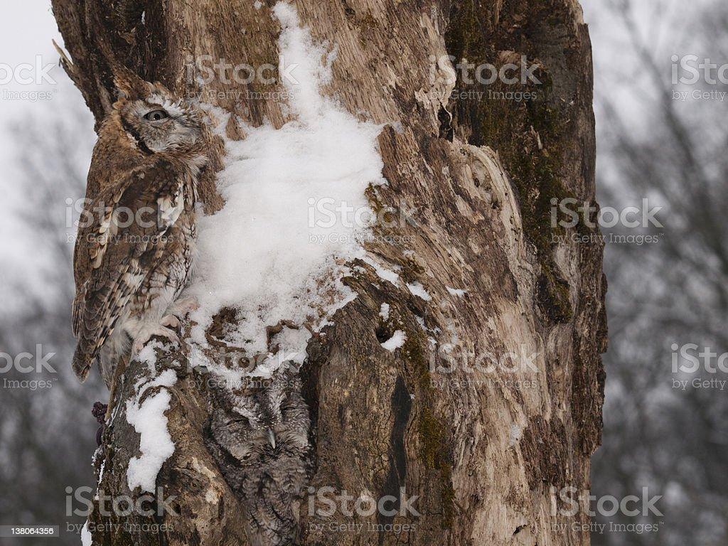 Screech Owls on a tree stock photo