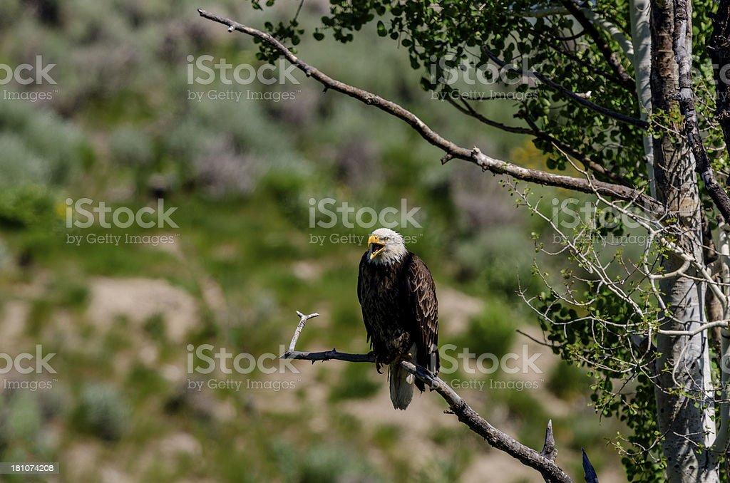 Screeching Bald Eagle in Colorado royalty-free stock photo