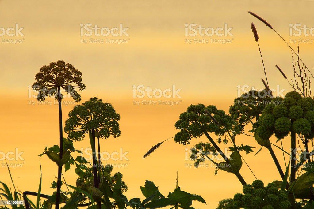 Screen flower at sunset stock photo