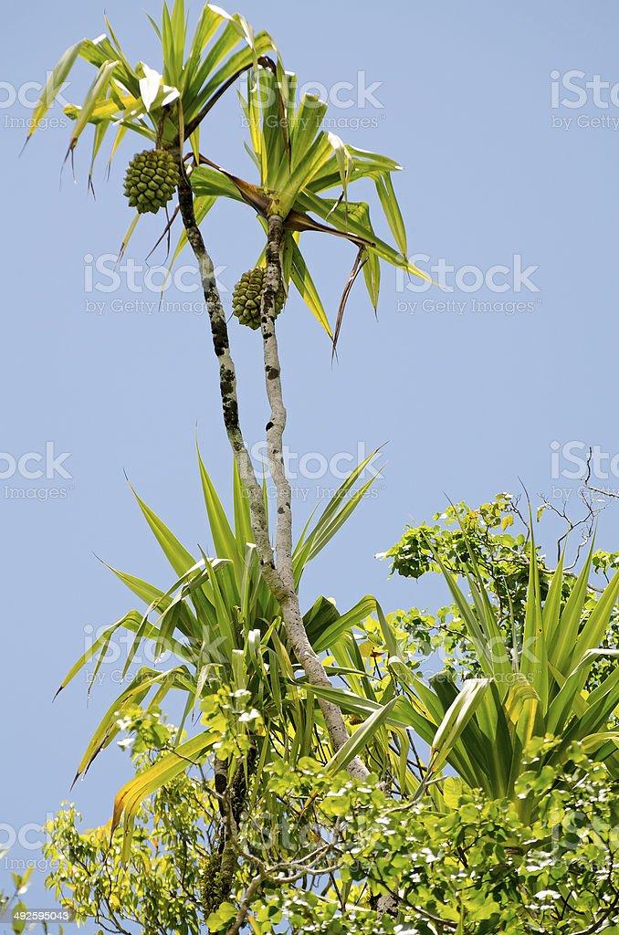 screwpine  Pandanus dubius stock photo