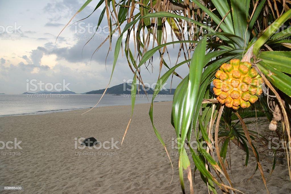 Screwpine - Pandanus tectorius at Cheung Sha beach, Lantau stock photo
