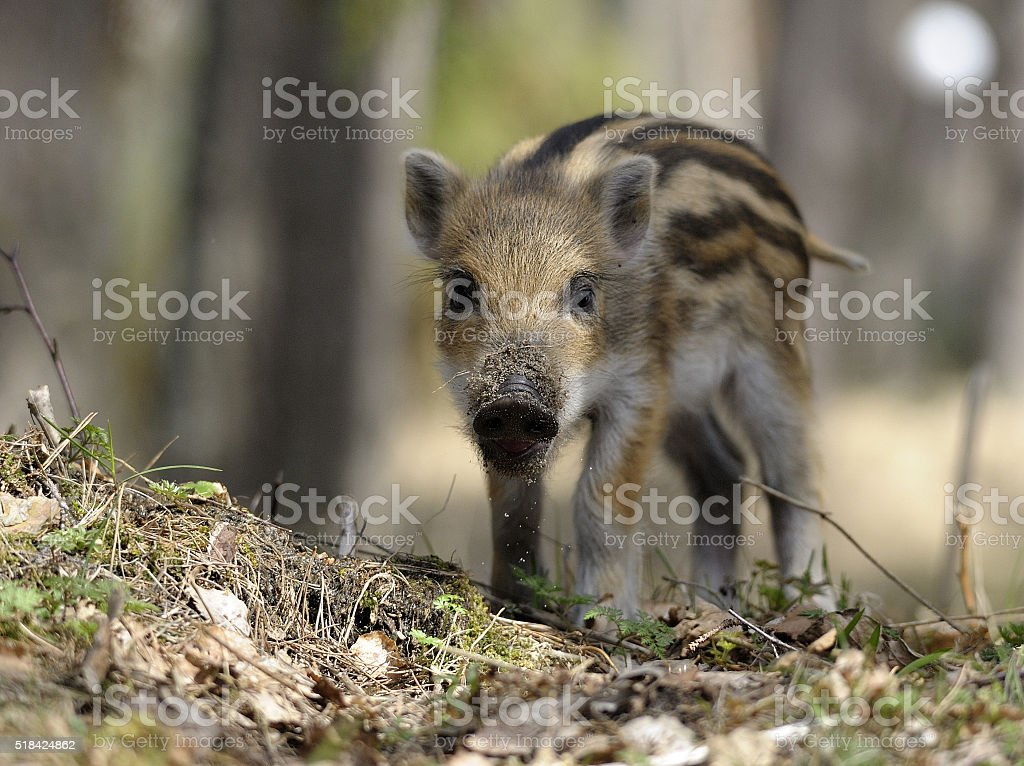 scrofa stock photo