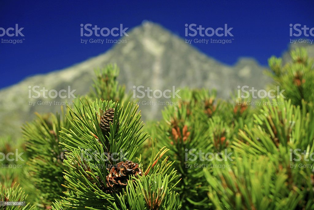 Scrub in High Tatras mountains royalty-free stock photo