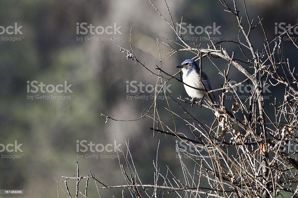 Scrub Jay stock photo