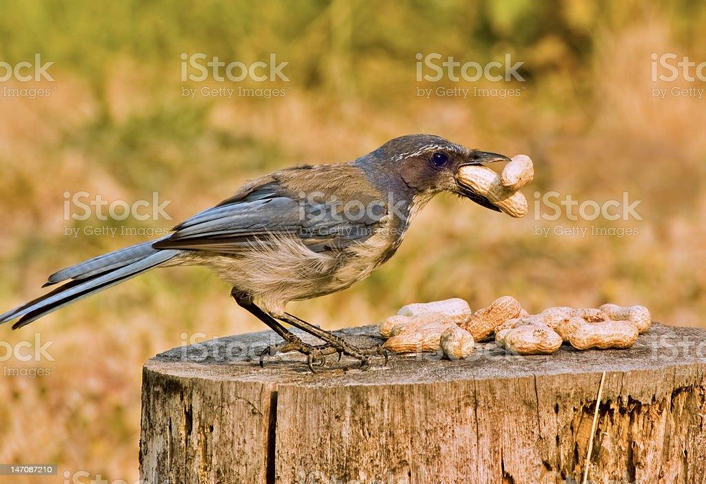 Scrub Jay with peanuts royalty-free stock photo