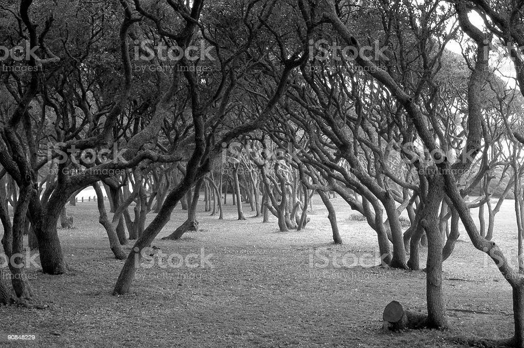 Scrub oaks in black & white. royalty-free stock photo
