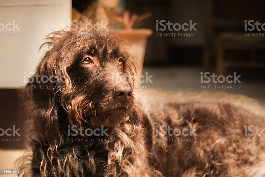 Scruffy Brown Labradoodle Dog Time For Grooming stock photo