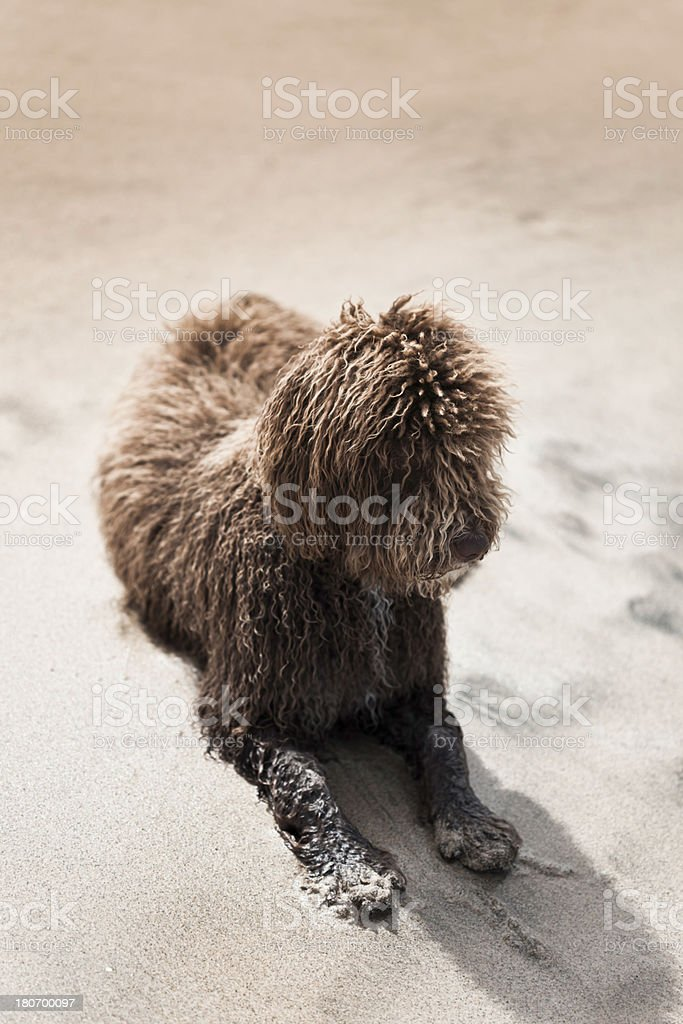 Scruffy Dog royalty-free stock photo