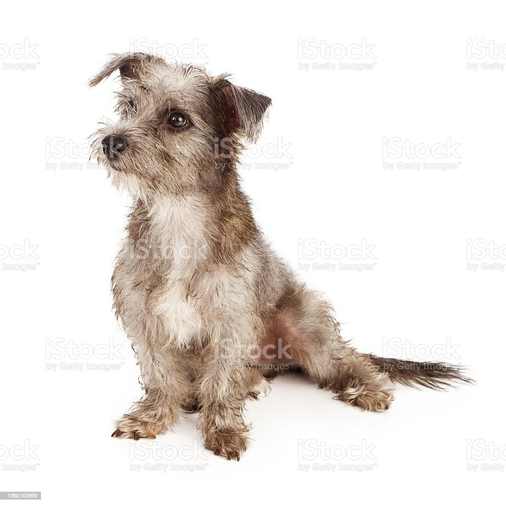 Scruffy Terrier Puppy Looking to Side royalty-free stock photo
