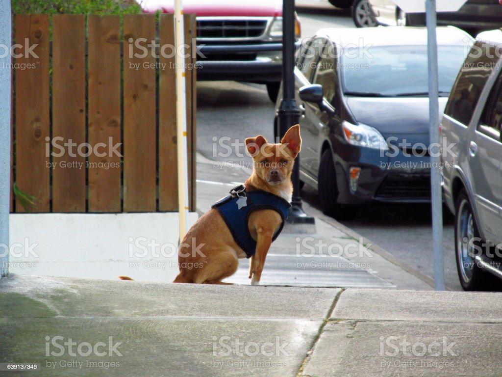 Scrutinizing Chihuahua stock photo